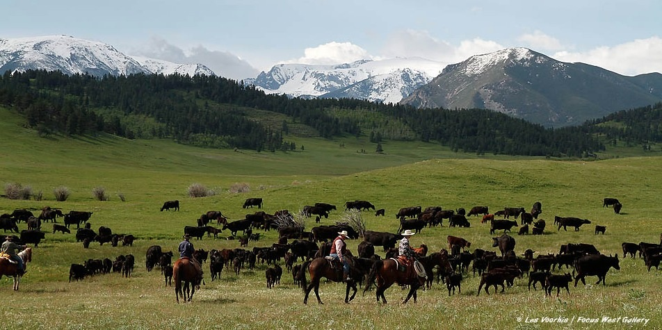 Image result for cattle ranches in montana