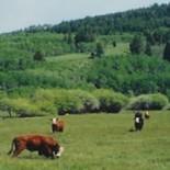bar-h-bar-ranch-cattle