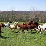 bucks-spurs-ranch-horses
