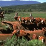 latigo-ranch-cattle