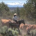 long-hollow-ranch-cattle