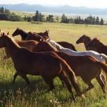 pines-ranch-horses