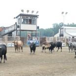 malibu-dude-ranch-cattle