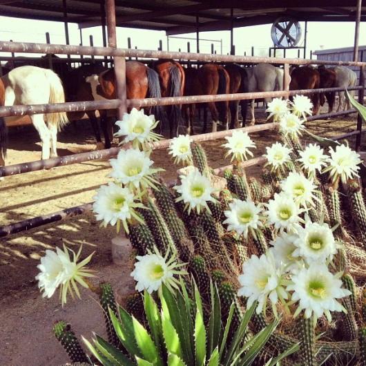 cactus-blooms-white-stallion-ranch
