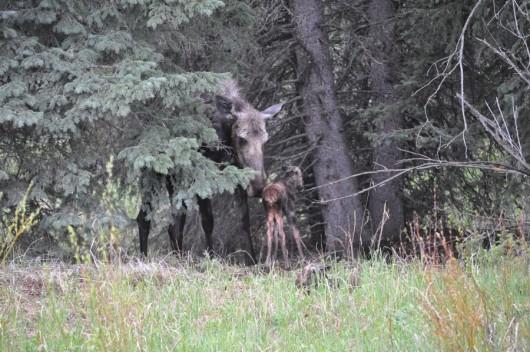 lone-mountain-ranch-moose-baby-calves