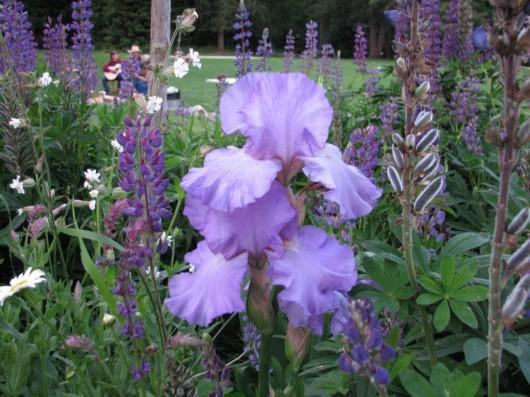iris-flower-western-pleasure-ranch