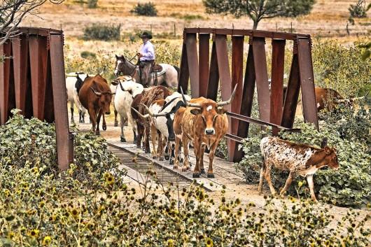 cattle-drive-beaumont-ranch-tx