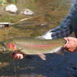 4UR Rainbow Trout