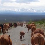 Cattle & VIews at Big Creek Lodge, BC Canada