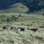 HorseWorks Herding Cattle
